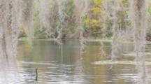 An Anhinga (Anhinga Anhinga) In Forages In The Water And Camera Moves In Towards Bird