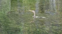 An Anhinga (Anhinga Anhinga) In Forages In The Water And Submerges