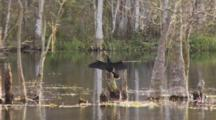 An Anhinga (Anhinga Anhinga) In Drying Out It's Wings In Nice Light