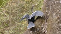 An Anhinga (Anhinga Anhinga) Rests On A Tree As Camera Moves By, Flees Out Of Frame