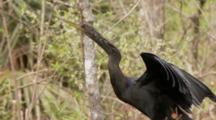 An Anhinga (Anhinga Anhinga) Rests On A Tree As Camera Moves By, Shot Zooms Out