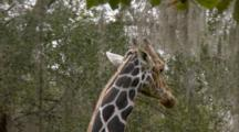 Giraffe Feeding On Leaves And Hanging Moss, Medium Shot Of Head