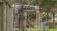 Giraffe Getting A Head Scratch From A Person