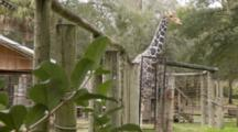 Giraffe Standing In It's Enclosure, Moving A Bit