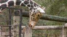 Giraffe Chewing On One Of The Posts From It's Enclosure