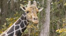Giraffe Chewing And Looking In Cameras Direction