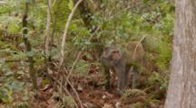 Rhesus Macaque (Macaca Mulatta) Or Rhesus Monkey Walks Into Frame In Thick Forrest And Looks About