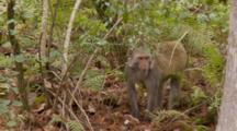 Rhesus Macaque (Macaca Mulatta) Or Rhesus Monkey Looks About And Then Exits Frame In Thick Forrest