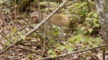 Rhesus Macaque (Macaca Mulatta) Or Rhesus Monkey Standing In Forrest, Shot Zooms In.
