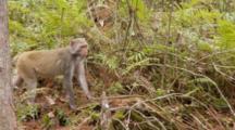 Rhesus Macaque (Macaca Mulatta) Or Rhesus Monkey Standing In Forrest