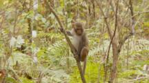Rhesus Macaque (Macaca Mulatta) Or Rhesus Monkey Sitting In A Tree Then Climbs Out Of Frame