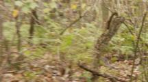 Rhesus Macaque (Macaca Mulatta) Or Rhesus Monkey Running On Forrest Floor, Camera Follows The Action