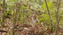 Rhesus Macaque (Macaca Mulatta) Or Rhesus Monkey Eating Fruit On The Forrest Floor, Shot Zooms In And Animal Exits Frame