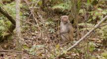 Rhesus Macaque (Macaca Mulatta) Or Rhesus Monkey Eating Fruit On The Forrest Floor