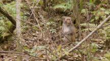 Rhesus Macaque (Macaca Mulatta) Or Rhesus Monkey Eating Fruit On The Forrest Floor, Shot Zooms In Slightly