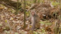 Rhesus Macaque (Macaca Mulatta) Or Rhesus Monkey Eating Fruit On The Forrest Floor Then Quickly Runs Away