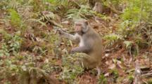 Rhesus Macaque (Macaca Mulatta) Or Rhesus Monkey Eating Fruit On The Forrest Floor