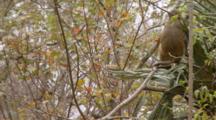 Rhesus Macaque (Macaca Mulatta) Or Rhesus Monkey Climbing A Tree Limb, Camera Locked Off