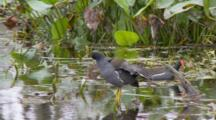 Common Moorhen (Gallinula Chloropus) Or Marsh Hens Preen In A Florida Swamp