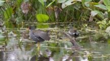 Common Moorhen (Gallinula Chloropus) Or Marsh Hens In A Florida Swamp