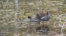 Common Moorhen (Gallinula Chloropus) Or Marsh Hens In Grasses In A Florida Swamp