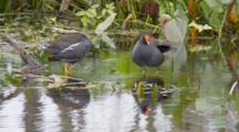 Common Moorhen (Gallinula Chloropus) Or Marsh Hens Forage In Grasses In A Florida Swamp