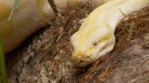Albino Burmese Python (Python Molurus Bivittatus) Rests On A Log In Wooded Area Of A Florida Swamp
