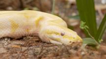 Albino Burmese Python (Python Molurus Bivittatus) On A Log In Wooded Area Of A Florida Swamp