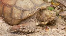 A Giant Tortoise Resting On Grassy Substrate