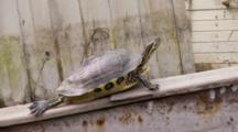 A Coastal Cooter (Pseudemys Concinna Floridana) Or Florida Cooter Jumps Off A Wrecked Small Boat As Shot Zooms Out Wide
