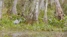 A Great Blue Heron (Ardea Herodias)  Hunting In A Florida Swamp, Wide Shot