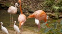 Flamingos And Ibis Together At A Pond