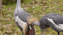 A Pair Of Grey Crowned Cranes (Balearica Regulorum) In A Florida Swamp And Preening