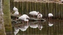 Small Flock Of American White Ibis (Eudocimus Albus) Forages In Shallow Pond In A Florida Swamp