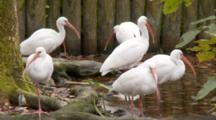 Small Flock Of American White Ibis (Eudocimus Albus) Forage And Rest In Shallow Pond In A Florida Swamp