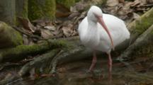 An American White Ibis (Eudocimus Albus) Forages In Shallow Pond In A Florida Swamp