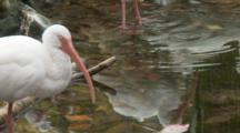 An American White Ibis (Eudocimus Albus) Standing In Shallow Pond In A Florida Swamp