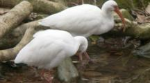 An American White Ibis Pair (Eudocimus Albus) Preen And Forage In Shallow Pond In A Florida Swamp