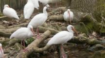 An American White Ibis Flock (Eudocimus Albus) Preen And Forage In Shallow Pond In A Florida Swamp