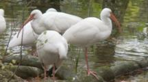 An American White Ibis Pair (Eudocimus Albus) Preen Near In Shallow Pond In A Florida Swamp