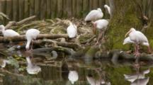 An American White Ibis Flock (Eudocimus Albus) Rest Near In Shallow Pond In A Florida Swamp
