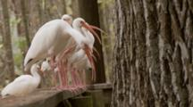 An American White Ibis Flock (Eudocimus Albus) Lined Up In A Row On A Railing, One Walks Towards Camera