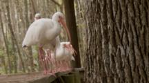 An American White Ibis Flock (Eudocimus Albus) Lined Up In A Row On A Railing
