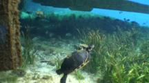 Coastal Cooters (Pseudemys Concinna Floridana) Or Florida Cooter Swimming In The Clear Waters Of Silver Springs
