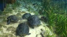 Coastal Cooters (Pseudemys Concinna Floridana) Or Florida Cooter Feeding In The Clear Waters Of Silver Springs