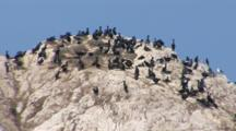 A Colony Of Cormorants Nests On A Large Rock