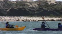 Kayakers Paddle Past A Beach Filled With Gulls And Harbor Seals, Dunes Covered By Vegitation