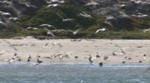 A Flock Of Gulls Landing On A Beach With Dune Habitat In The Background.