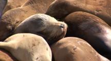 California Sealions (Zalophus Californianus) Sleeping On A Moving Dock