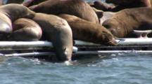 California Sealions (Zalophus Californianus) On A Moving Dock